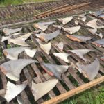 Police to investigate illegal shark finning at Kulhudhuffushi