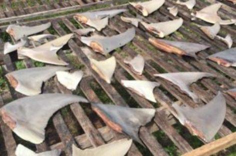 Police to investigate illegal shark finning at Kulhudhuffushi