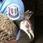 Missing peacock returned to owner